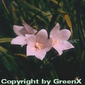 Ballonblume Perlmutterschale - Platycodon grandiflorus