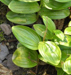 Immergrüner Salomonsiegel - Polygonatum franchetii