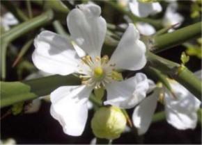 Bitterorange 30-40cm - Poncirus trifoliata