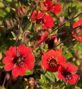 Fingerkraut Flamenco - Potentilla cultorum