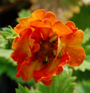 Fingerkraut William Rollinson - Potentilla Hybrid