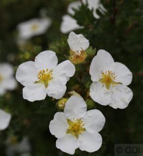 10x Kleiner Spierstrauch Abbotswood - Potentilla fruticosa