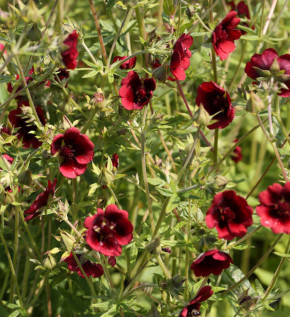Fingerkraut Monarch's Velvet - Potentilla thurberi