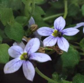 Blauer Bubikopf - Pratia pedunculata