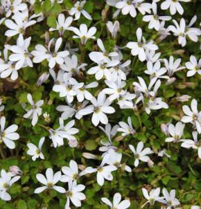 Bubikopf Treadwellii - Pratia pedunculata