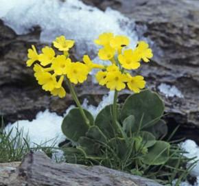Alpenaurikel - Primula auricula