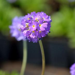 Kugelprimel Lilac - Primula denticulata