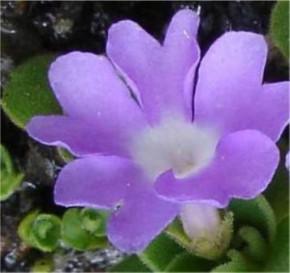 Behaarte Primel - Primula hirsuta