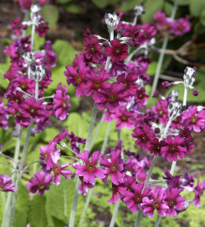 Primel Pulverulenta - Primula pulverulenta