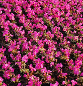 Rosen Primel Gigas - Primula rosea