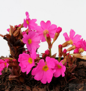 Rosen Primel - Primula rosea