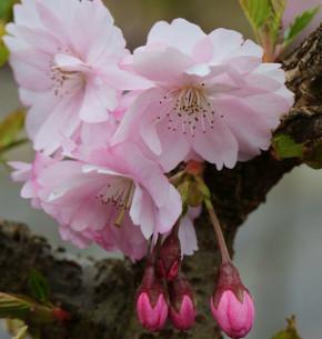 Hochstamm Frühe Zierkirsche 80-100cm - Prunus Accolade