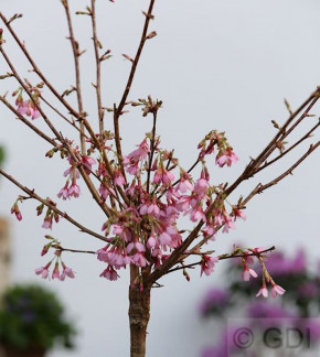 Hochstamm Zierkirsche Okame 40-60cm - Prunus Okame
