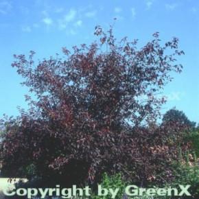 Hochstamm Zierkirsche 60-80cm - Prunus blireana
