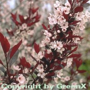 Hochstamm Zwergblutpflaume 60-80cm - Prunus cistena