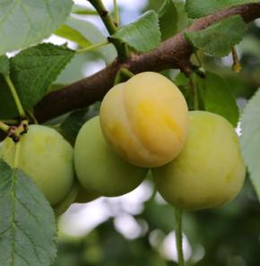 Pflaume Golden Japan 60-80cm - Prunus domestica
