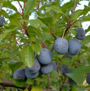 Pflaume The Czar 60-80cm - Prunus domestica