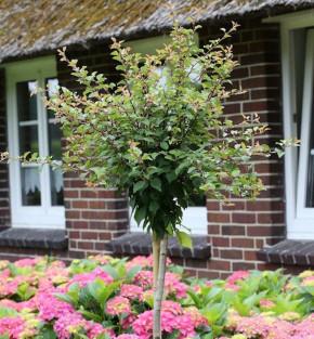 Hochstamm Geschlitzte Zierkirsche Kojou no mai 100-125cm - Prunus incisa