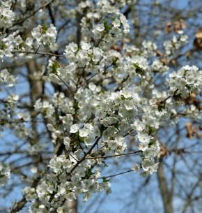 geschlitzte Kirsche Lotte 80-100cm - Prunus incisa
