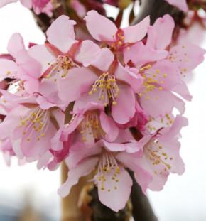 Hochstamm Zwerg Zierkirsche Ruby 60-80cm - Prunus kurilensis