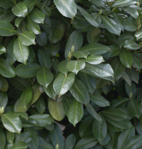 Hochstamm Lorbeerkirsche Etna® 100-125cm - Prunus laurocerasus