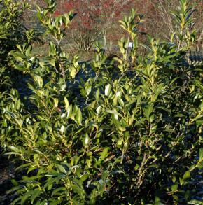 Aufrechte Lorbeerkirsche 40-60cm - Prunus laurocerasus