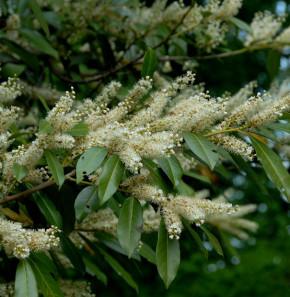 breitwachsende Lorbeerkirsche Otto Luyken 40-50cm - Prunus laurocerasus