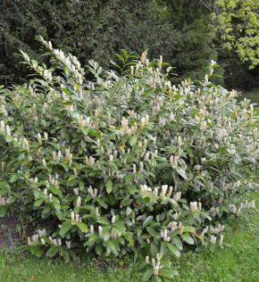 Zwerglorbeerkirsche Piri 25-30cm - Prunus laurocerasus