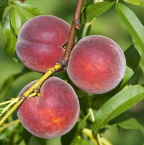 Pfirsich Kernechter vom Vorgebirge 60-80cm - Prunus persica