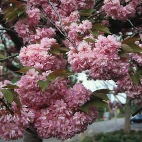 Japanische Nelkenkirsche Kanzan 125-150cm - Prunus serrulata
