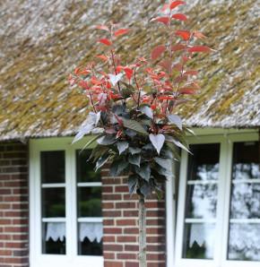 Hochstamm Blut Nelkenkirsche 100-125cm - Prunus serrulata