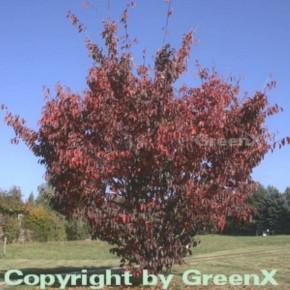 Blut Nelkenkirsche 40-60cm - Prunus serrulata