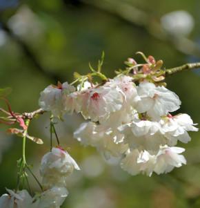 Hochstamm Japanische Zierkirsche Ukon 100-125cm - Prunus serrulata