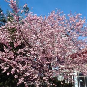 Hochstamm Rosa Winterkirsche 80-100cm - Prunus subhirtella