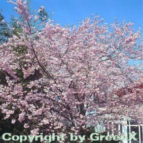 Rosa Winterkirsche 100-125cm - Prunus subhirtella