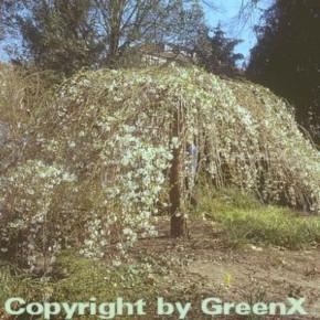 Hochstamm Frühlingstrauerkirsche 60-80cm - Prunus subhirtella