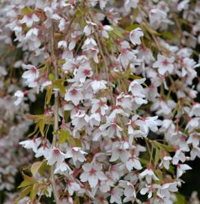 Frühlingshängekirsche 100-125cm - Prunus subhirtella