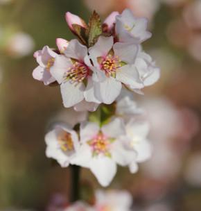 Filzkirsche Orient 40-60cm - Prunus tomemtosa