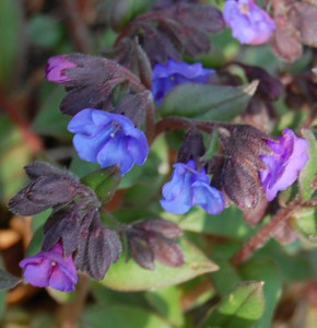Schmalblättriges Lungenkraut Blue Ensign - Pulmonaria angustifolia