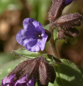 Lungenkraut High Dawn - Pulmonaria saccharata
