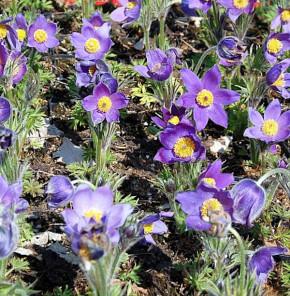 Küchenschelle Pinwheel Blau - Pulsatilla vulgaris