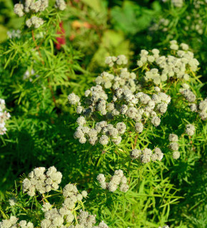 Dünnblättrige Scheinbergminze - Pycnanthemum flexuosum