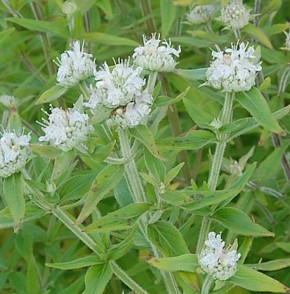 Amerikanische Bergminze - Pycnanthemum pilosum