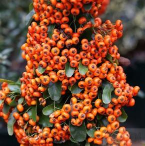 Feuerdorn Saphyr Orange 40-60cm - Pyracantha