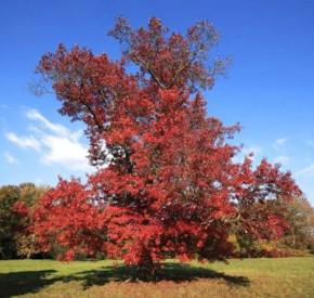 Scharlach Eiche Campanile 40-60cm - Quercus coccinea Campanile