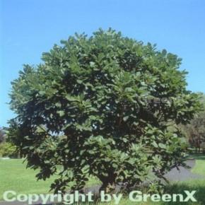 Pontische Eiche 40-60cm - Quercus pontica
