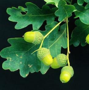 Zwerg Säuleneiche 40-60cm - Quercus robur