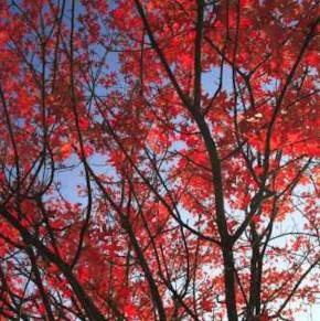 Hochstamm Rot Rindige Eiche Haaren 40-60cm - Quercus rubra