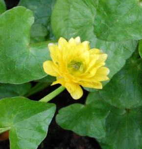 Scharbockskraut Flore Pleno - Ranunculus ficaria