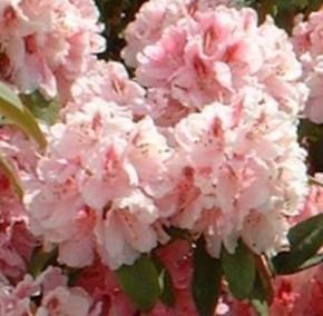 Großblumige Rhododendron Albert Schweitzer 40-50cm - Alpenrose